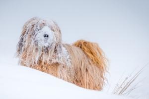 Schneebedeckter langhaariger Hund in einer Schneedüne