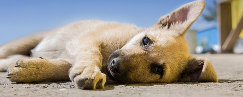 Lernpfote e. V. Welpen- und Hundekaufberatung