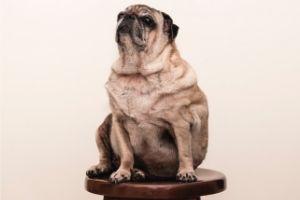 "Lernpfote e. V. ""Erste Hilfe am Hund"" - Übergewicht"