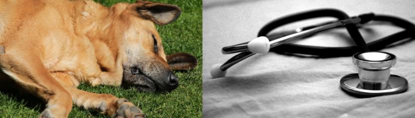 Lernpfote e. V. Bogartikel: Erste Hilfe am Hund - Grundlagen