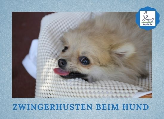 Lernpfote e. V. Podcast-Folge 076 Zwingerhusten beim Hund