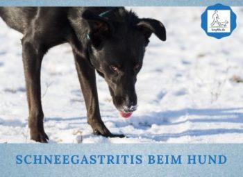 Lernpfote e. V. Podcast-Folge: 060 Schneegastritis beim Hund